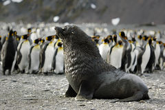Fur Seal / Pelzrobben Royalty Free Stock Photos
