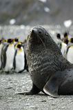 Fur Seal / Pelzrobben Stock Photography