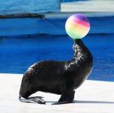 Fur Seal performing at Circus Stock Images