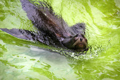 Fur seal in the pool Royalty Free Stock Image