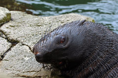 Fur seal. Portrait of a fur seal Stock Photography