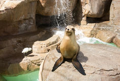 Fur seal posing. Fur seal stands on rock and posing Stock Photography
