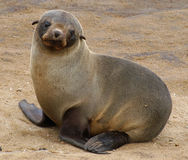 Fur seal pup. A very sweet shot of a fur seal pup, taken at cape cross seal colony in Namibia Stock Photo