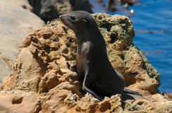 Fur Seal Pup on Rock. New Zealand fur seal pup (Kekeno) on rocky shoreline royalty free stock images