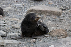 Fur seal pup Royalty Free Stock Photography