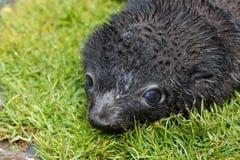 Fur seal pup, South Georgia. Fur seal pup at South Georgia Stock Images