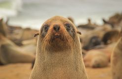 Fur seal puppy on the beach of the Atlantic Ocean. stock images