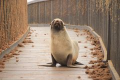 Fur seal puppy on the beach of the Atlantic Ocean. stock image