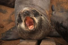 Fur seal puppy shouts on the beach of the Atlantic Ocean. Namibia. Africa royalty free stock image