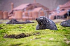 Fur seal puppy Royalty Free Stock Image