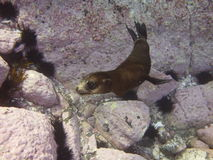 Fur seal puppy royalty free stock photography