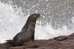 Fur seal ready to dive royalty free stock photography