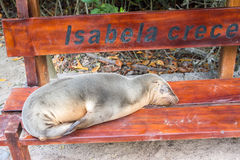 Fur seal relaxing on a bench seat, Galapagos islands Royalty Free Stock Image