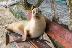 Fur seal relaxing on a bench seat, Galapagos islands Stock Photo
