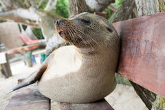 Fur seal relaxing on a bench seat, Galapagos islands Stock Photography