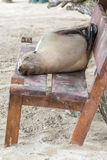 Fur seal relaxing on a bench seat, Galapagos islands Stock Image
