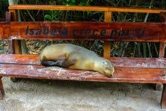 Fur seal relaxing on a bench seat, Galapagos islands, Ecuador Stock Images