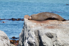Fur Seal resting Royalty Free Stock Photo