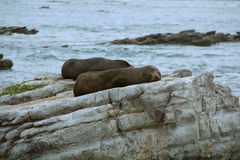 Fur seal resting on rocks, Kaikoura, New Zealand, late evening Stock Photography