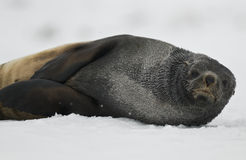 Fur Seal Resting in the Snow Royalty Free Stock Photography