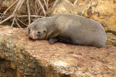 Fur Seal Resting Royalty Free Stock Photography