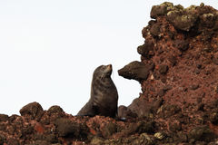 Fur Seal Resting Royalty Free Stock Photos