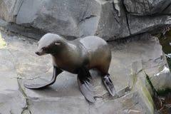 Fur seal on rock royalty free stock photo