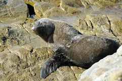 Fur Seal on Rocks, New Zealand Stock Photos