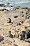 Fur Seal on Rocks, New Zealand Royalty Free Stock Photo