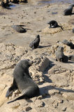 Fur Seal on Rocks, New Zealand Stock Images