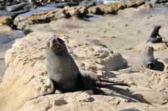 Fur Seal on Rocks, New Zealand. Fur Seal colony Near Dunedin, Otago, New Zealand stock photos