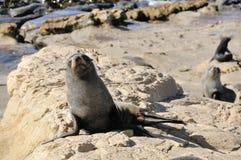 Fur Seal on Rocks, New Zealand. Fur Seal colony Near Dunedin, Otago, New Zealand Stock Photos