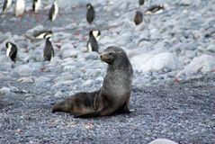 Fur seal on a rocky beach with penguins Stock Photography
