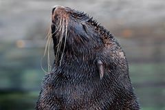 Fur seal`s head 1 Royalty Free Stock Photo