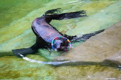Fur seal, sea lion Royalty Free Stock Photography