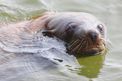 Fur Seal. S are any of nine species of pinnipeds in the Otariidae family. They are much more closely related to sea lions than true seals, and share with them stock photography