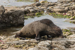 Fur seal searching for food Stock Images