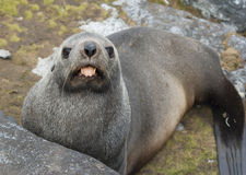 Fur Seal showing the tongue. Fur seal shows the language, lying among the rocks Royalty Free Stock Image