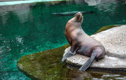 Fur seal sitting by the pool. Sea lion. Fur seal sitting by the pool in a beautiful pose. Sea lion sitting on a rock looking up on a background of clear pure Stock Images