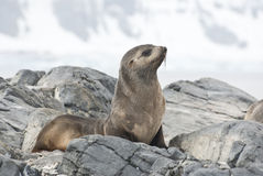 Fur Seal sitting on a rock island Antarctic. Royalty Free Stock Photo
