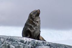 Fur seal sitting on rocks in Antarctica stock photography