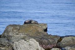 Fur Seal sleeping Royalty Free Stock Images