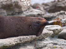 Fur seal sleeping upside down Royalty Free Stock Images