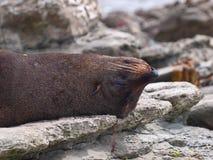 Fur seal sleeping upside down. New zealand fur seal sleeping upside down Royalty Free Stock Images