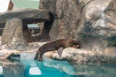 Fur Seal from South American (Arctocephalus australis) Stock Image