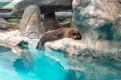 Fur Seal from South American (Arctocephalus australis). Resting on a rock Stock Photo