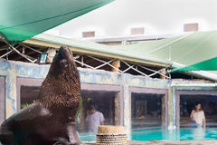 Fur Seal from South American (Arctocephalus australis) Stock Photography