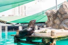 Fur Seal from South American (Arctocephalus australis) Stock Photos