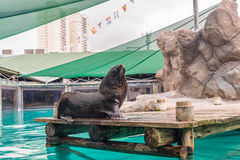 Fur Seal from South American (Arctocephalus australis) Royalty Free Stock Photos