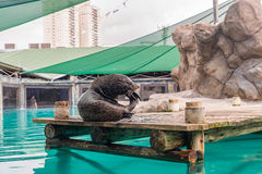 Fur Seal from South American (Arctocephalus australis) Royalty Free Stock Photos
